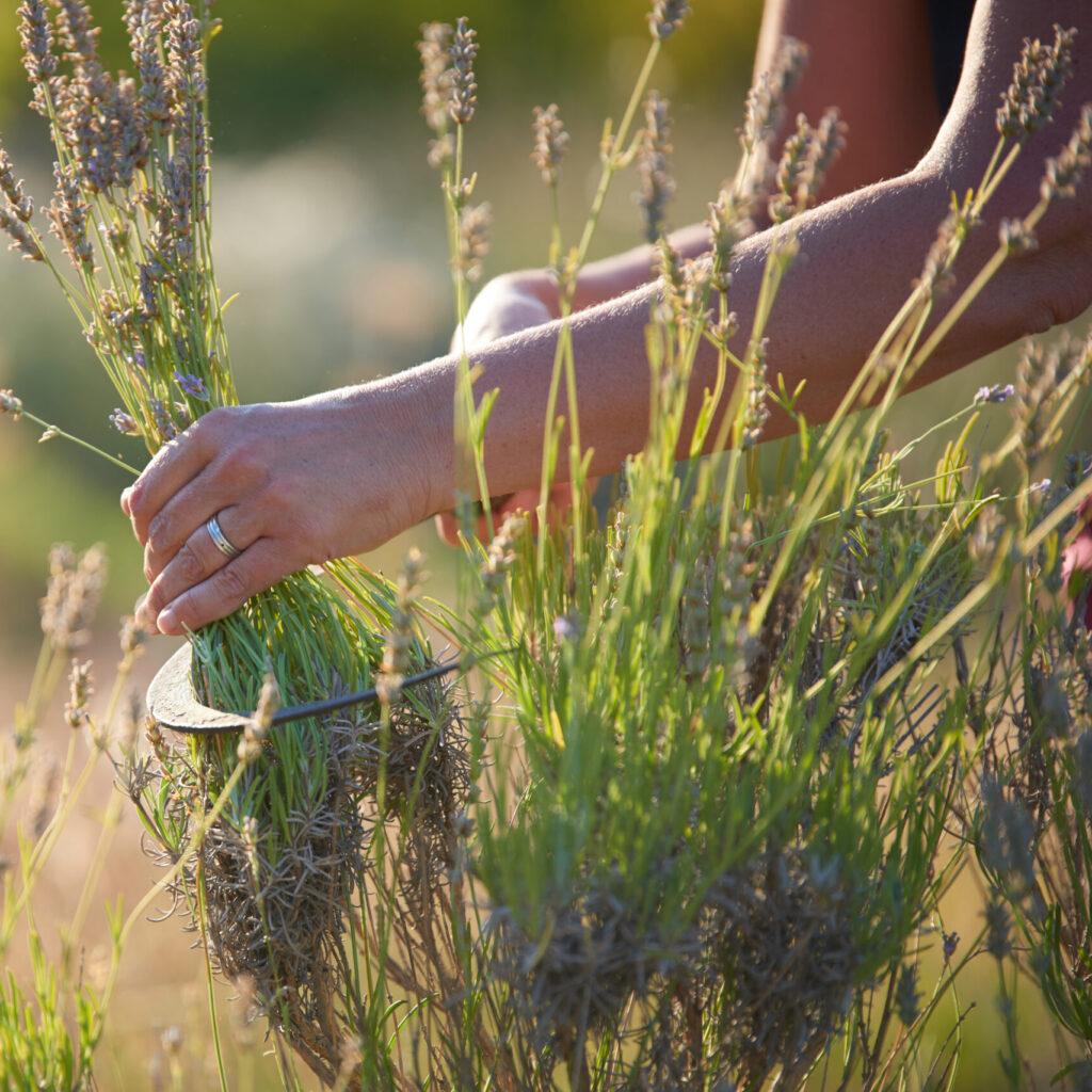 Frau erntet LAvendel mit einer Sichel